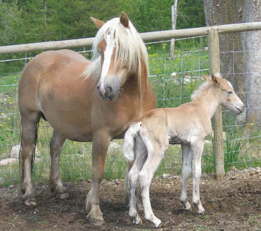 Christa (one of our Haflingers) had had her foal, a lovely little colt.