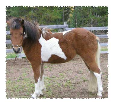 icelandic mare for sale