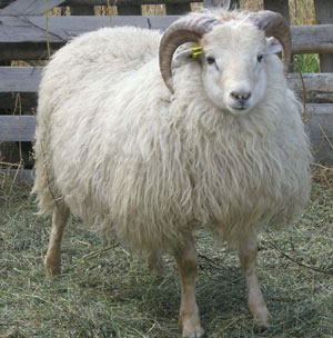 http://www.pineridgeicelandics.com/icelandic_sheep_images/icelandic_sheep_skrami.jpg